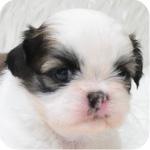 シーズー ホワイト&ゴールド 子犬販売の専門店 AngelWan 横浜 神奈川県