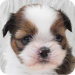 シーズー ホワイト&ゴールド メス 子犬販売の専門店 AngelWan 横浜