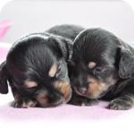 ミニチュアダックスフンド ブラックタン オス メス 子犬販売の専門店 AngelWan