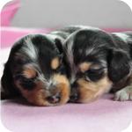 ミニチュアダックスフンド シルバーダップル 子犬販売の専門店 AngelWan 横浜