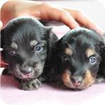 ミニチュアダックスフンド ブラック&タン 子犬販売の専門店 AngelWan 横浜