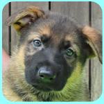 ジャーマンシェパード ウルフ メス 子犬販売の専門店 AngelWan 横浜