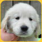 ゴールデンレトリバー オス 子犬販売の専門店 AngelWan 横浜