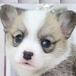 コーギー ブリーダー 子犬販売の専門店 AngelWan 横浜 神奈川県 ペットショップ