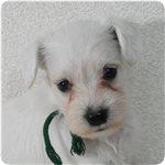 ミニチュアシュナウザー ブリーダー子犬販売専門店 Angel wan 横浜