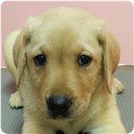 ラブラドールレトリバー ブリーダー子犬販売専門店 Angel wan 横浜
