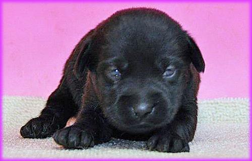 ラブラドールレトリバー メス 子犬販売の専門店 AngelWan 横浜 神奈川県