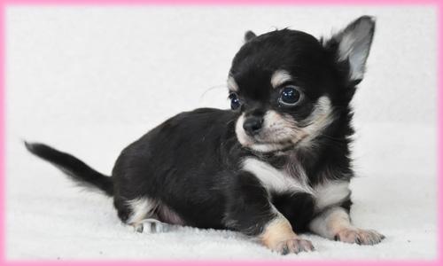 チワワ ロング ブラック&タン メス 子犬販売の専門店 AngelWan