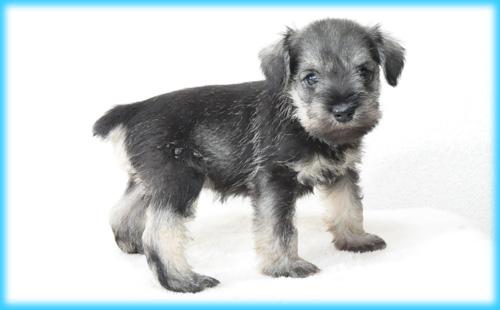 ミニチュアシュナウザー ソルト&ペッパー オス 子犬販売の専門店 AngelWan