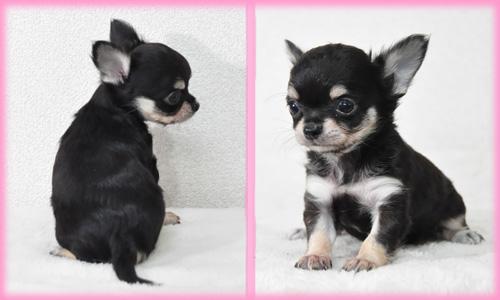 チワワ ロング ブラック&タン メス 子犬販売の専門店 AngelWan 横浜