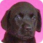ラブラドールレトリバー ブラック メス 子犬販売の専門店 AngelWan 横浜