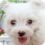 マルチーズ ホワイト メス 子犬販売の専門店 AngelWan 横浜 神奈川県