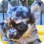 チワワ ロング ブルーマール メス 子犬販売の専門店 AngelWan 横浜