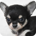 チワワ ブラック&タン メス 子犬販売の専門店 AngelWan 横浜