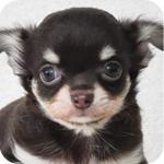 チワワ ロング チョコレート&タン メス 子犬販売の専門店 AngelWan 横浜