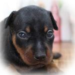 ミニチュアピンシャー ブリーダー子犬販売専門店 Angel Wan 横浜