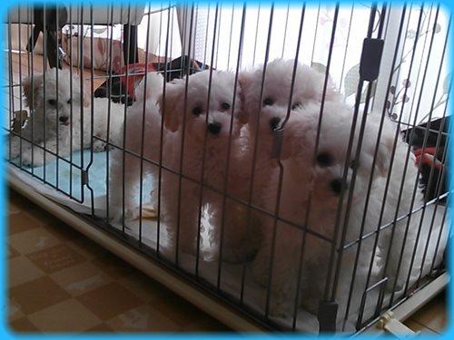トイプードル ブリーダー子犬販売専門店 Angel wan 東京 神奈川 千葉