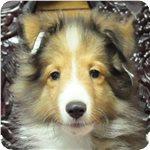 シェットランドシープドッグ ブリーダー子犬販売専門店 Angel wan 横浜