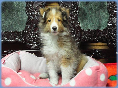 シェットランドシープドッグ ブリーダー子犬販売専門店 Angel wan 東京 神奈川 千葉