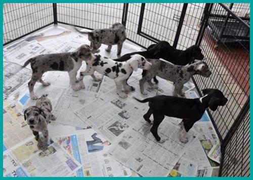 グレートデーン ブリーダー子犬販売専門店 Angel wan 東京 神奈川 千葉