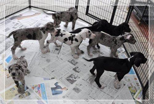 グレートデン ブリーダー子犬販売専門店 Angel Wan 東京 神奈川 千葉