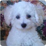 トイプードル ブリーダー子犬販売専門店 Angel wan 横浜