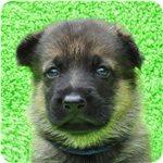 ジャーマンシェパードドッグ ブリーダー子犬販売専門店 Angel wan 横浜