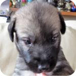 アイリッシュウルフハウンド メス 子犬販売の専門店 AngelWan 横浜 神奈川県