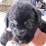 アイリッシュウルフハウンド オス 子犬販売の専門店 AngelWan 横浜 神奈川県