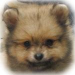 ポメラニアン ブリーダー子犬販売専門店 Angel Wan 横浜