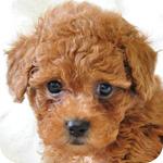 トイプードル レッド オス 子犬販売の専門店 AngelWan 横浜 神奈川県
