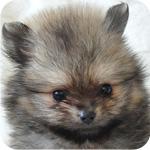 ポメラニアン オレンジ オス 子犬販売の専門店 AngelWan 横浜 神奈川県