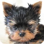 ヨークシャーテリア スチールブルー&タン メス 子犬販売の専門店 AngelWan