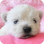 ウエストハイランドホワイトテリア オス 子犬販売の専門店 AngelWan 横浜