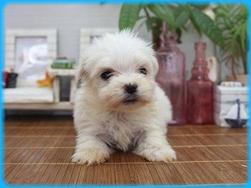 マルチーズ ブリーダー子犬販売専門店 Angel wan 東京 神奈川 千葉