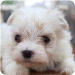 マルチーズ ブリーダー子犬販売専門店 Angel wan 横浜