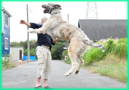 アイリッシュウルフハウンド 兄犬 子犬販売の専門店 AngelWan 横浜