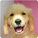 ゴールデンレトリバー ブリーダー子犬販売専門店 Angel wan 横浜