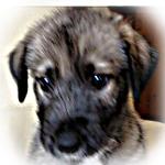 アイリッシュウルフハウンド ブリーダー子犬販売専門店 Angel Wan 横浜