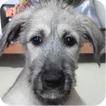 アイリッシュウルフハウンド フォーン メス 子犬販売の専門店 AngelWan 横浜
