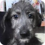 アイリッシュウルフハウンド プリンドル メス 子犬販売の専門店 AngelWan 横浜