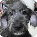 アイリッシュウルフハウンド プリンドル オス 子犬販売の専門店 AngelWan 横浜