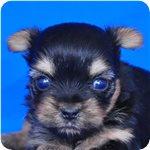 ヨークシャーテリア ブリーダー子犬販売専門店 Angel wan 横浜