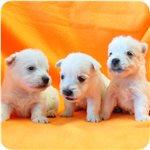 ウエストハイランドホワイトテリア ブリーダー子犬販売専門店 Angel wan 横浜