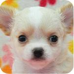 チワワ クリーム&ホワイト オス 子犬販売の専門店 AngelWan 横浜