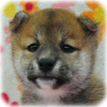 柴犬 ブリーダー子犬販売専門店 Angel Wan 横浜