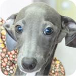 イタリアングレーハウンド ブルー&ホワイト オス 子犬販売の専門店 AngelWan