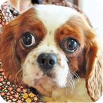 キャバリアキングチャールズスパニエル オス 子犬販売の専門店 AngelWan 横浜