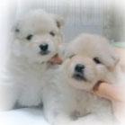 ポメラニアンの ブリーダー子犬販売専門店 Angel Wan 横浜
