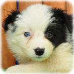 ボーダーコリー ブリーダー子犬販売専門店 Angel Wan 横浜